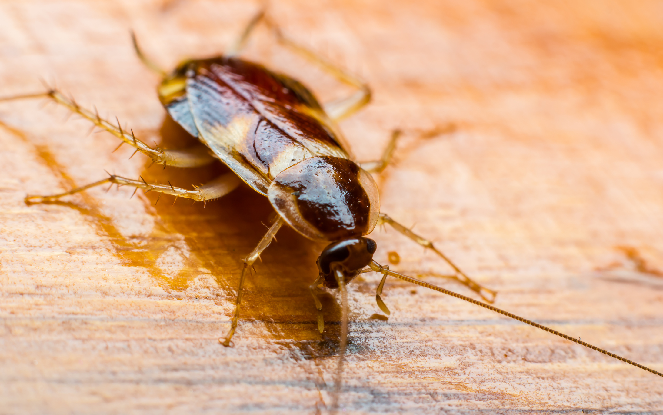 A cockroach on a wooden surface