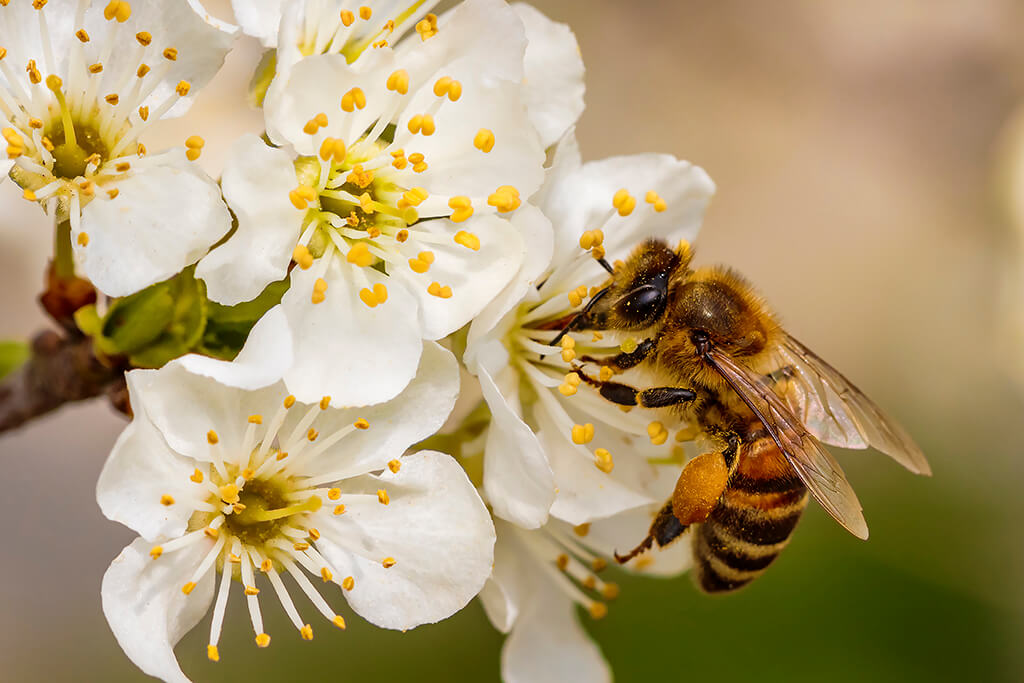 How to Identify the Difference Between Bee Swarms and Bee Hives
