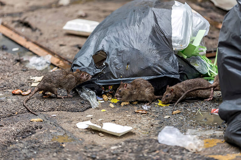 Top 3 Rodent Diseases You Want to Avoid