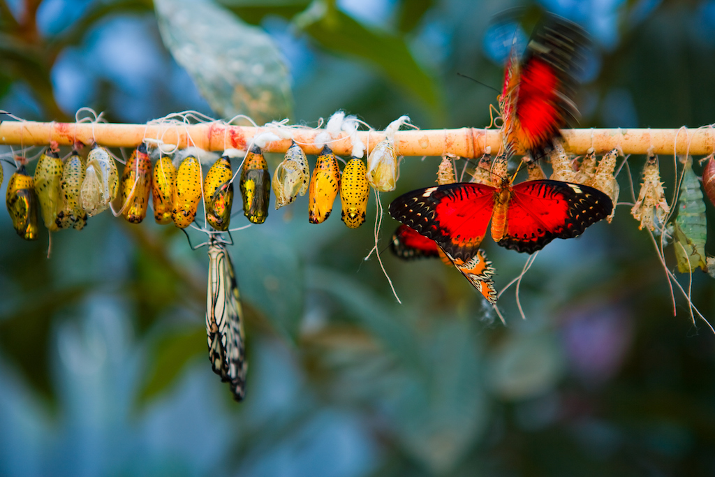 A bunch of caterpillar cocoons and butterflies on a single branch